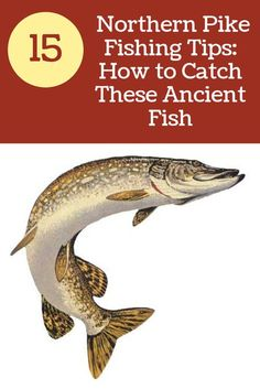 Northern Pike Fishing Tips: How to Catch and Cook Pike-Northern Pike Fishing Tips: How to Catch and Cook Pike These fish can be found in most bodies of water in the northern United States and fight a lot harder than largemouth bass! In this article, I am Pike Fishing Tips, Pike Fishing Lures, Crappie Fishing Tips, Sea Fishing, Saltwater Fishing, Kayak Fishing, Fishing Stuff, Fishing Trips, Going Fishing