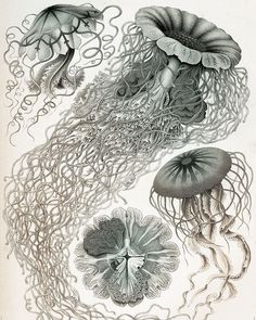 Awesome page from Ernst Haeckel's Art Forms in Nature (after a bit of a touch up) #pic