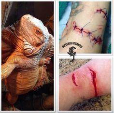 Iguana bites are no joke! Think carefully before committing to a green iguana.