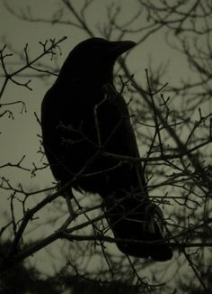 crow in the waning hours of the day