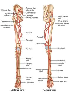 Arteries Anatomy, Peripheral Artery Disease, Brain Facts, Arteries And Veins, Medical Anatomy, Wound Care, Med Student, Anatomy And Physiology, Medical Students