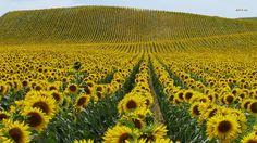 Bunga Matahari :D