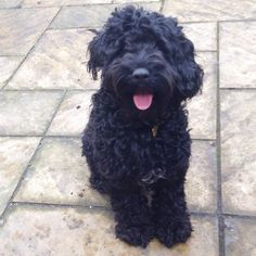 My Black cockapoo flashgordon
