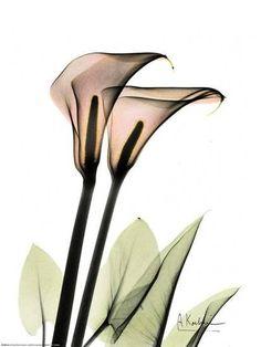 Calla lilly X-ray, by Albert Koetsier . Xray Flower, Flower Art, Calla Lillies, Calla Lily, Transparent Flowers, Deco Nature, Poster Prints, Art Prints, Arte Floral