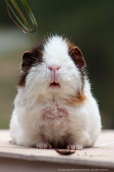 awwwwwwwww cute piggiee i can't wait to get one they are soo precious