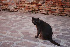 un gato veneciano