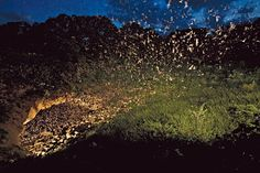 Witness the largest gathering of a single species of mammal on the planet.  Mexican free-tailed bats at Braken Cave