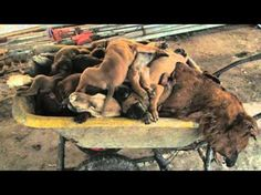 This is horrifying. Don't support the dog meat (or any meat) industry/trade!