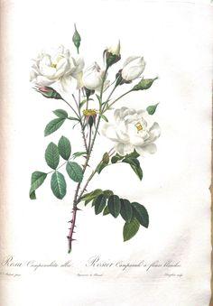 pinterest vintatage roses   Les roses, par P.J. Redouté; avec le text par Cl. Ant. Thory. 1817 ...