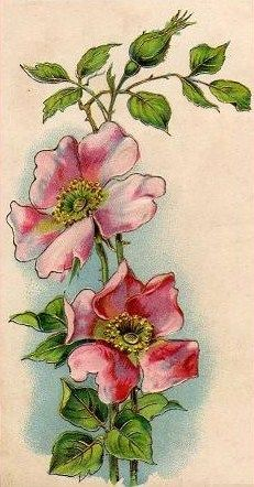 wild rose - some inspiration
