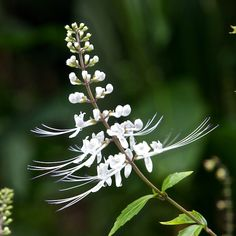 Orthosiphon Stamineus Lamiaceae