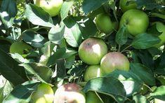 Schemă de tratament de la A la Z pentru livezile de măr Fruit, Wall