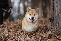 marutaro(柴犬まる公式) (@marutaro2000) | Twitter