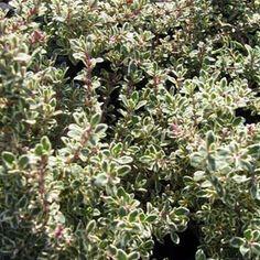 Thymus x Citriodorus Silver Posie