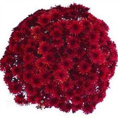 Granata Red Belgian Chrysanthemum Plant: Very Early Bloom (Aug 23 – Sep - All For Garden Garden Mum, Chrysanthemum Flower, Plan My Wedding, Plant Sale, Front Yard Landscaping, Petunias, Garden Plants, Flower Power, Orchids