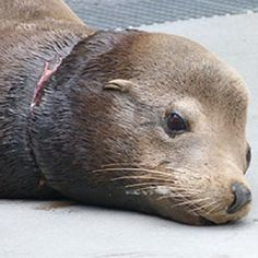The Marine Mammal Center- What started out as a routine rescue training exercise ended in a real-life rescue of a sea lion & a first-time adventure for two Marine Mammal Center volunteers. Named H.C. in honor of two new volunteers who helped rescue him, the 244-pound sea lion had an entanglement wrapped tightly around his neck. Far too many seals & sea lions get entangled in ocean trash.  H.C. is one of the lucky ones. Take the pledge to stop trashing our oceans!