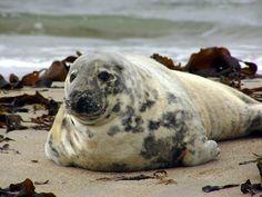 Phoque gris - Réserve naturelle nationale des Sept-Îles - Côtes-d'Armor (France) – Crédit Photo: Andreas Trepte – Licence CC BY-SA 2.5