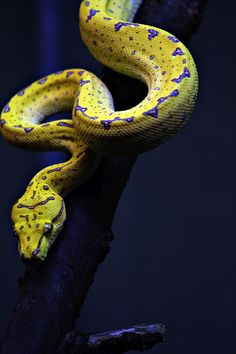 theanimaleffect: Green Tree Python Juvenile by HollyBerry255 on...  Nature Photography Photo Workshop