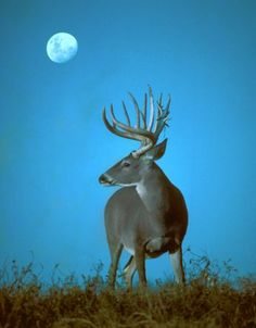 Moonstruck: The Effects of the Moon on Whitetails Hunting Tips, Archery Hunting, Deer Hunting, Whitetail Hunting, Whitetail Deer Pictures, Deer Photos, Deer Pics, Hunting Magazines, Big Deer