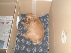 When my Norfolk Terrier was pregnant I browsed the web to see how to build a whelping box. A whelping box gives the dam an opportunity to have some peace and quiet when she gives birth to her pupp… Welping Box, Dog Whelping Box, Big Dog House, Japanese Chin Puppies, Dog Birth, Norfolk Terrier, Animal Room, Dog Stories, Yorkie Puppy