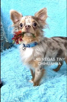 Blue Merle Chihuahua, Chihuahua Facts, Teacup Chihuahua, Chihuahua Love, Chihuahua Puppies, Chihuahuas, Collor, Chocolate Color, 5 Year Olds