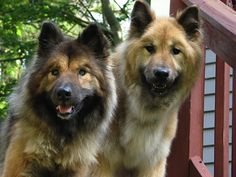 Petplan protected Eurasiers, Tika and Ruq