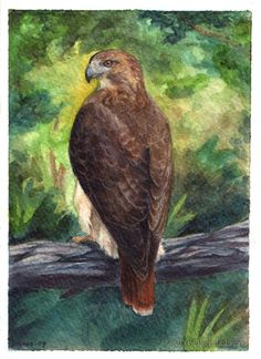 Red Tailed Hawk Card by windfalcon on DeviantArt