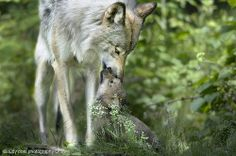 Timber Wolf Mom and Pup - Parc Omega Nature Preserve, Montebello, Quebec