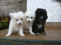 As a pet, the Japanese Spitz is obedient, loyal, loving, and affectionate.