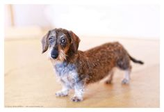 Wirehair Dachshund | June 2014.  Photo by: Johnny Ortez-Tibbels ©