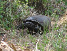 Gopher tortoise at Honeymoon Island State Park, Florida.