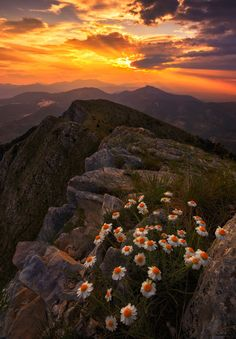 radivs: Margaridas douradas por Dimitrios Katrantzis