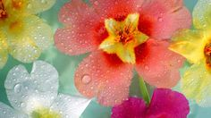 Flowers multicolor nature plants water drops (1920x1080, multicolor, nature, plants, water, drops)  via www.allwallpaper.in