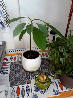 Growing avocado