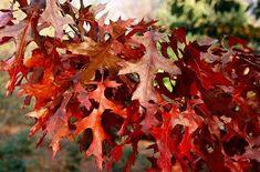 Quercus coccinea Quercus coccinea 39Splendens39 scarlet oak 39Splendens39RHS Gardening