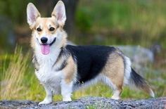 Known as the Corgi with the tail, the Cardigan Welsh Corgi is the older of the two Corgi breeds. Description from mysmelly.com. I searched for this on bing.com/images