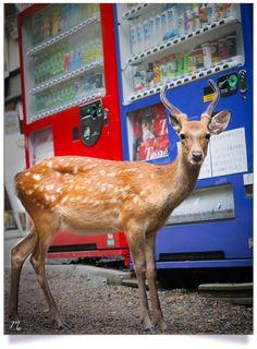 Un daim dans la ville de Nara