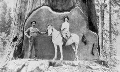 http://vintagetimber.com/images/antique-wood/logging-horse-in-undercut.jpg