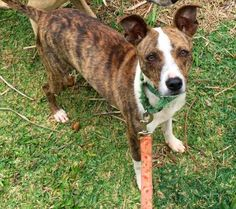 4 / 30    Petango.com – Meet Marlee, a 3 years 2 months Whippet / Mix available for adoption in LIHUE, HI Address  3-825 Kaumualii Highway, LIHUE, HI, 96766  Phone  (808) 632-0610  Website  http://www.kauaihumane.org  Email  Adoptions@kauaihumane.org
