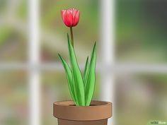 Como Sembrar Un Tulipan En Maceta