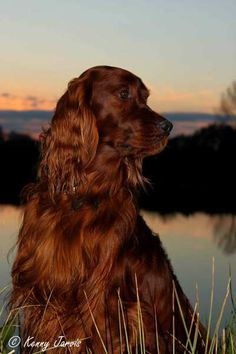 Irish Setters - I also want one!