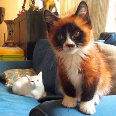 Kitten that looks like a red panda from Animal Life twitter