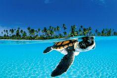 Tartaruga recém-nascida busca proteção do mar aberto!