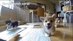 So many puppies!!! | Instantly Improve Your Day By Watching A Bunch Of Corgi Puppies Chase A Camera