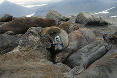 Il clima si studia grazie agli elefanti marini  Analizzando gli spostamenti dei grandi animali marini grazie a dei sensori satellitari. Così un gruppo di ricercatori ha scoperto uno dei fiumi sottomarini che contribuiscono a regolare la temperatura della Terra  Leggi l'articolo su Galileo (http://www.galileonet.it/articles/512cd6f0a5717a7de700009f)  Credits immagine: Census of Marine Life E/Flickr (http://www.flickr.com/photos/55038698@N03/)