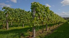 A boutique, family-owned estate producing award-winning English sparkling wines from Hampshire. English Wine, Property Investor, Sparkling Wine, Hampshire, A Boutique, Wines, Fields, Vineyard, England