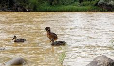 Ducks wade in the Animas River as orange sludge from a mine spill upstream flows past Berg Park in Farmington, N.M., Saturday, Aug. 8, 2015. About 1 million gallons of wastewater from Colorado's Gold King Mine began spilling into the Animas River on Wednesday when a cleanup crew supervised by the Environmental Protection Agency accidentally breached a debris dam that had formed inside the mine. The mine has been inactive since 1923 ( Alexa Rogals/The Daily Times via AP)