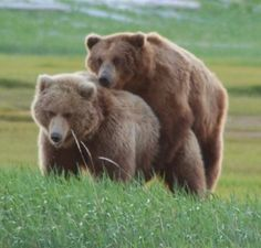 Bears Mating Pictures