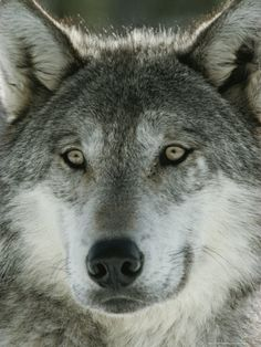 Close View of the Face of a Gray Wolf, Canis Lupus Photographic Print by Jim And Jamie Dutcher at Art.com