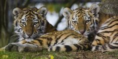 Tiger cubs | Marwell Zoo | RedPlanetClaire | Flickr
